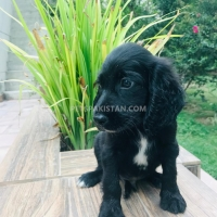 cocker-spaniel-male-pup-for-sale-cocker-spaniel-lahore