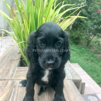cocker-spaniel-male-pup-for-sale-cocker-spaniel-lahore-2