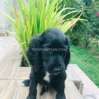 cocker-spaniel-male-pup-for-sale-cocker-spaniel-lahore-3