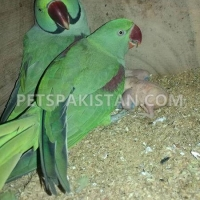 raw-parrot-for-sale-indian-ringneck-faisalabad-2