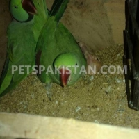 raw-parrot-for-sale-indian-ringneck-faisalabad-3