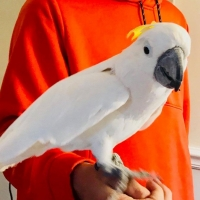 tame-healthy-parrots-african-grey-cokatoos-and-fertile-eggs-for-sale-cockatoos-shahpur-city