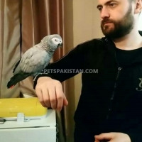adorable-hand-tamed-african-grey-parrots-for-sale-african-grey-parrot-lahore-4