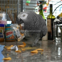 adorable-hand-tamed-african-grey-parrots-for-sale-african-grey-parrot-lahore-2