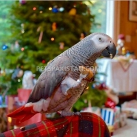 adorable-hand-tamed-african-grey-parrots-for-sale-african-grey-parrot-lahore-1