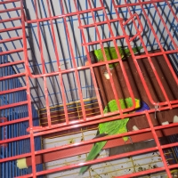 a-rainbow-lorikeet-pair-with-cage-rainbow-lorikeet-karachi-1