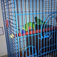 a-rainbow-lorikeet-pair-with-cage-rainbow-lorikeet-karachi-4