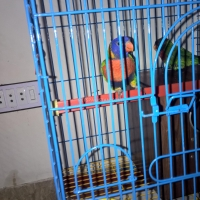 a-rainbow-lorikeet-pair-with-cage-rainbow-lorikeet-karachi-3