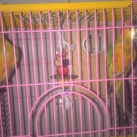 a-young-sun-conure-pair-with-cage-sun-conure-karachi