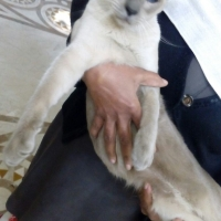 healthy-beautiful-siamese-pedigree-cats-available-for-adoption-siamese-lahore-3