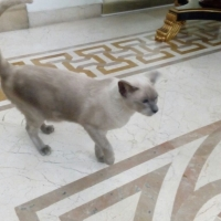 healthy-beautiful-siamese-pedigree-cats-available-for-adoption-siamese-lahore-2