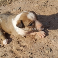 cute-puppies-up-for-adoption-other-rawalpindi