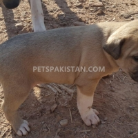 cute-puppies-up-for-adoption-other-rawalpindi-2