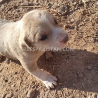 cute-puppies-up-for-adoption-other-rawalpindi-3