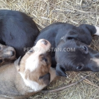 cute-puppies-up-for-adoption-other-rawalpindi-4
