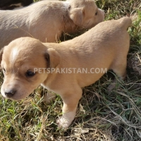 cute-puppies-up-for-adoption-other-rawalpindi-5