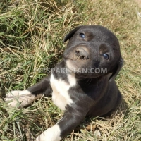 cute-puppies-up-for-adoption-other-rawalpindi-6