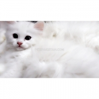 persian-dollface-kittens-persian-cats-lahore-1