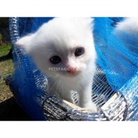 persian-dollface-kittens-persian-cats-lahore-3