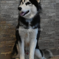 siberian-husky-1-year-old-male-other-rawalpindi