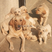 lab-pups-labrador-retriever-wah