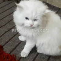 persian-cats-pair-for-sale-persian-cats-gujranwala