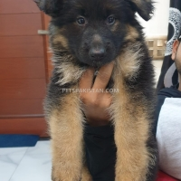 beautiful-male-and-female-puppies-available-german-shepherd-lahore