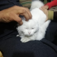 pure-persian-female-for-sale-beatifull-kitten-in-faisalabad-persian-cats-faisalabad