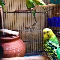 7-australian-parrots-budgies-and-2-cages-with-accessories-australian-budgies-gujranwala