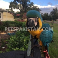 healthy-male-blue-and-gold-macaw-parrots-for-sale-macaws-mananwala-jodh-singh