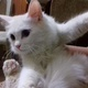 kittens-for-sale-persian-cats-karachi-2