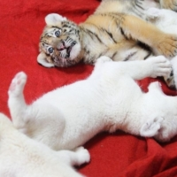 lovely-and-white-tiger-cubs-cheetah-cubs-whatsapp-12486625079-himalayan-lahore