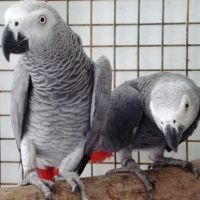 gaseous-male-and-female-african-grey-parrot-ready-for-adoption-african-grey-parrot-bai-zai