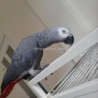 male-and-female-african-grey-parrots-for-adoption-african-grey-parrot-ahmadpur