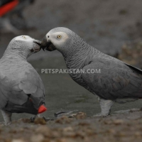 a-pair-of-talking-african-grey-parrots-whatsapp-12486625079-african-grey-parrot-badhber