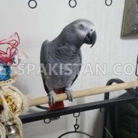 beautiful-african-grey-for-sale-african-grey-parrot-amir-pur-sadat