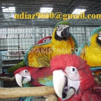 macaw-parrots-and-eggs-macaws-lahore