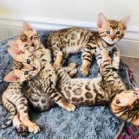 bengal-kittens-for-sale-best-price-bengal-amir-pur-sadat-1