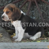 stunning-beagle-puppies-beagles-ali-pur