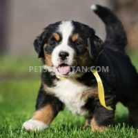 bernese-mountain-dog-puppies-other-dalbandin