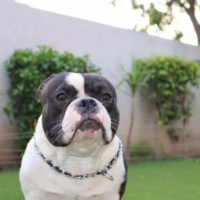 american-bully-dog-available-for-sale-bully-dog-lahore