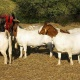 american-boer-goats-for-sale-ring-necked-pheasant-allah-abad