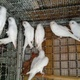 good-quality-simple-breeder-pairs-paper-white-budgri-for-sale-australian-budgies-lahore