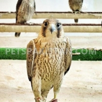 saker-falcons-for-sale-eagle-lahore