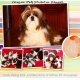 imported-highly-pedigree-shih-tzu-male-for-stud-service-shih-tzu-lahore