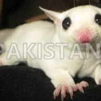 male-and-female-sugar-gliders-available--abbottabad