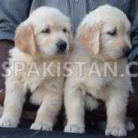 Dogs for sale in Pakistan | Golden Retriever for sale in