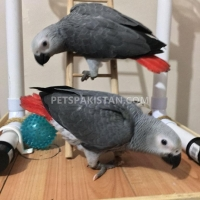 talking-african-grey-parrots-for-sale-african-grey-parrot-hyderabad
