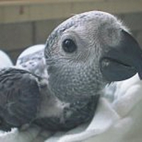 a-pair-of-talking-african-grey-parrots-african-grey-parrot-islamabad-2
