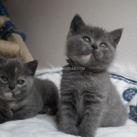 blue-british-shorthair-kittens-persian-cats-islamabad